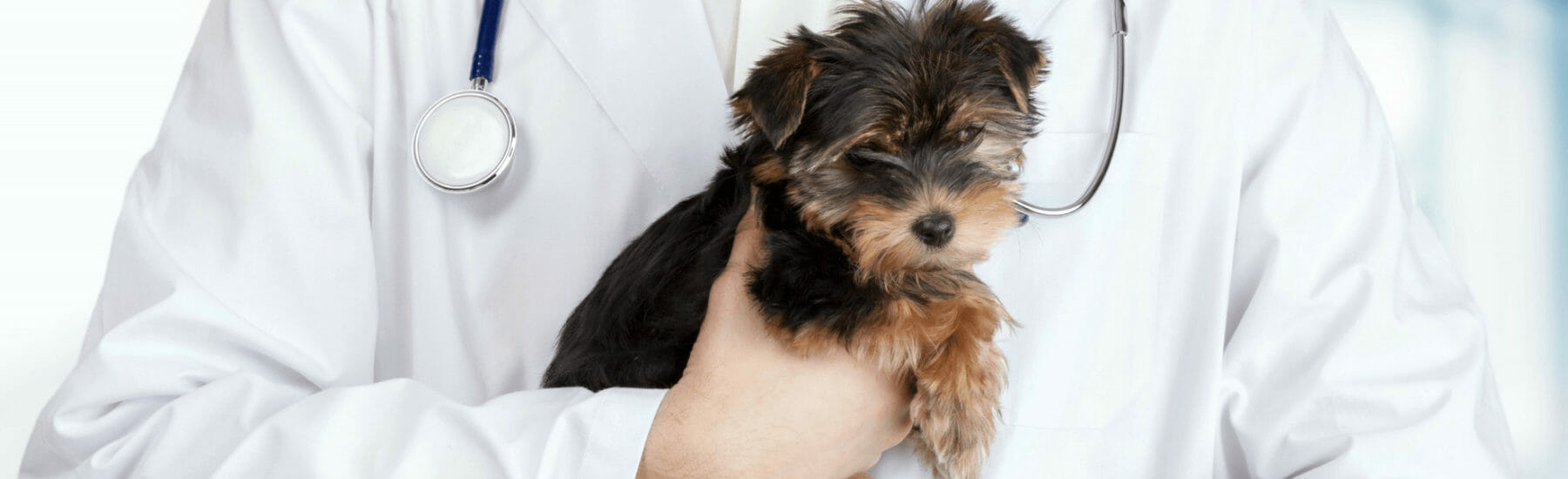 Small dog being held by a veterinarian