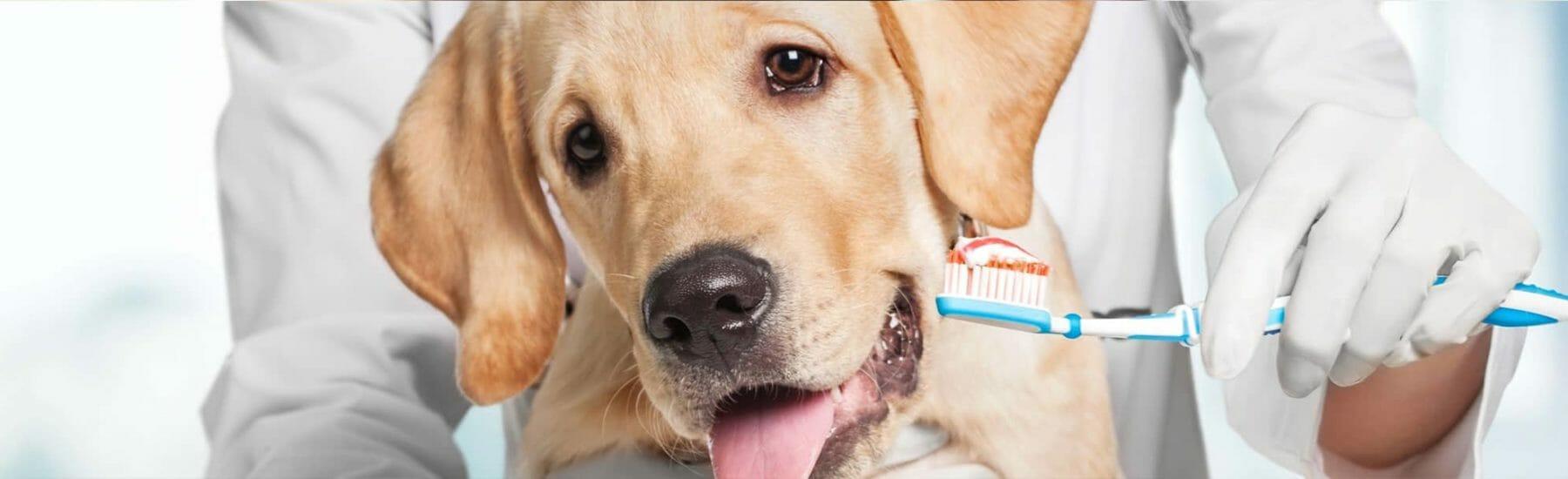 Golden dog having their teeth brushed