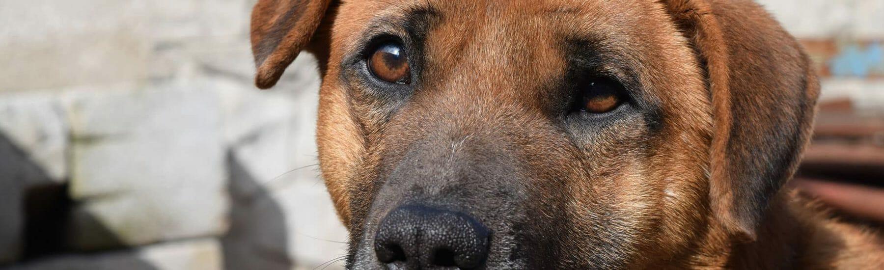 Closeup of brown dog looking towards camera