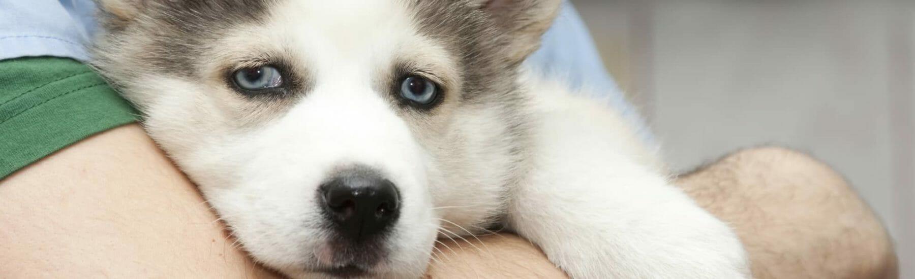 Small husky closeup looking at camera